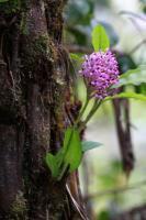 ORCHIDEE (Arnottia sp)