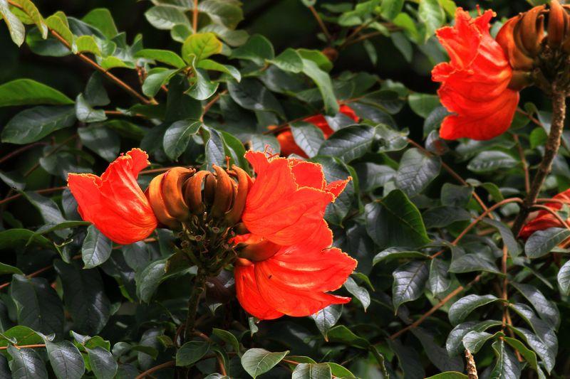 Fleur tulipier du japon - Confiture de nefles du japon ...