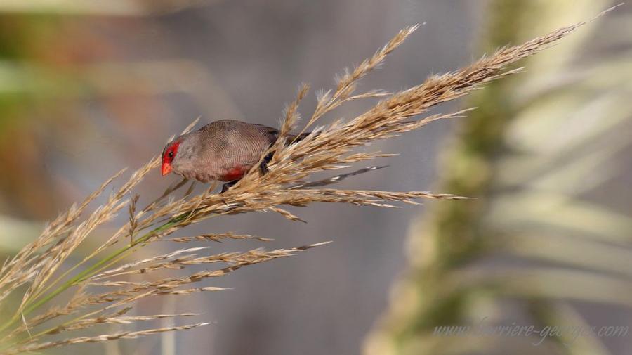 Oiseau grégaire et sociable il se déplace en bande  de plusieurs individus