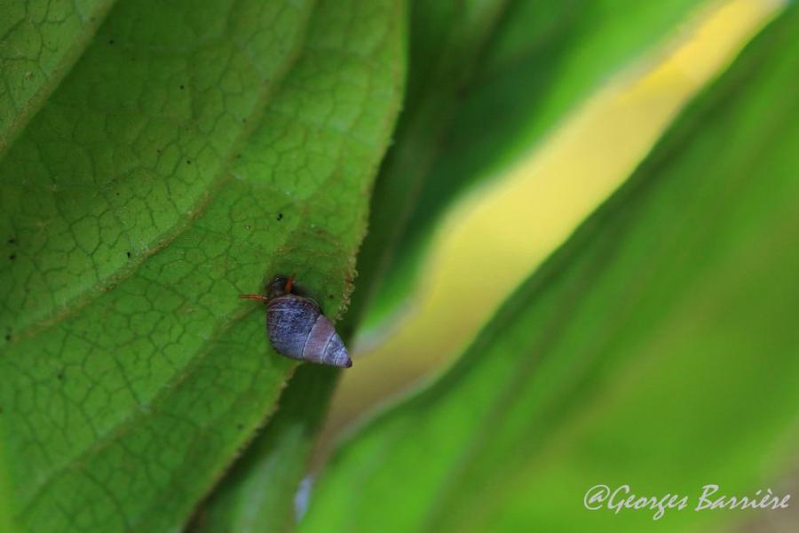 ESCARGOT ARBORICOLE (Omphalotropis rubens)