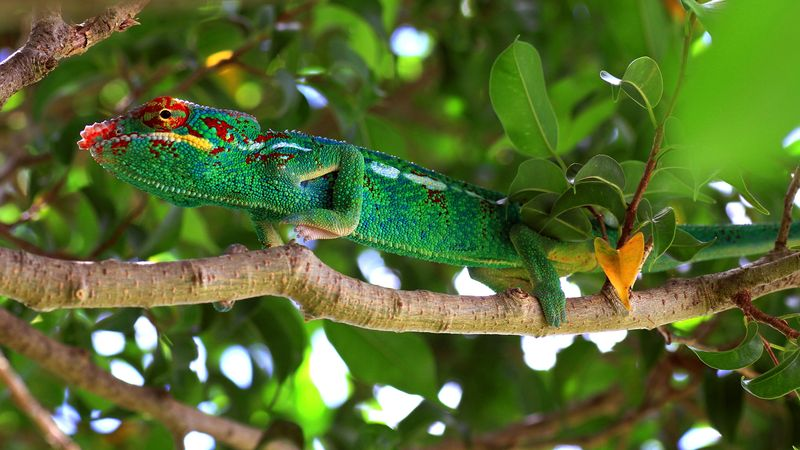 CAMELEON PANTHERE