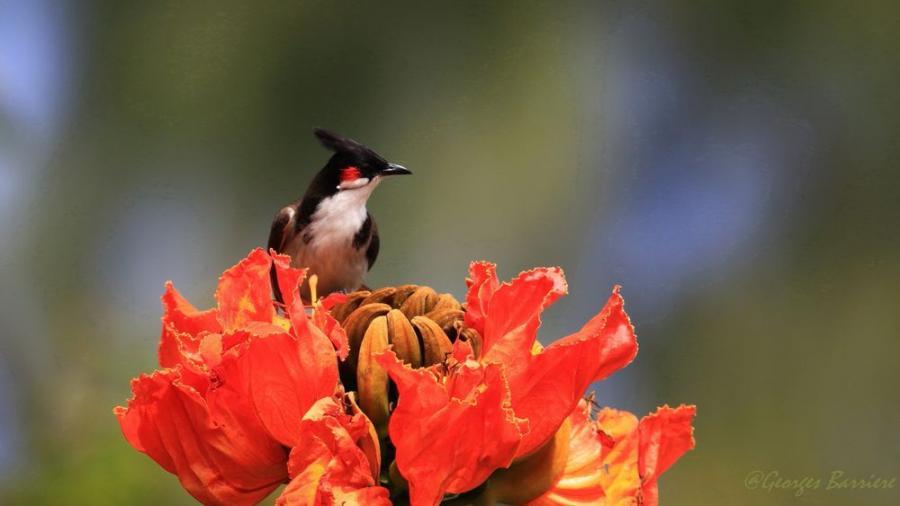"""""""Merle de Maurice"""" sur une fleur de Tulipier du Gabon"""
