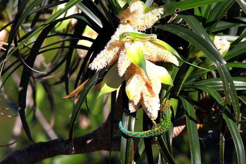 PHELSUMA BORBONICA (endemique)