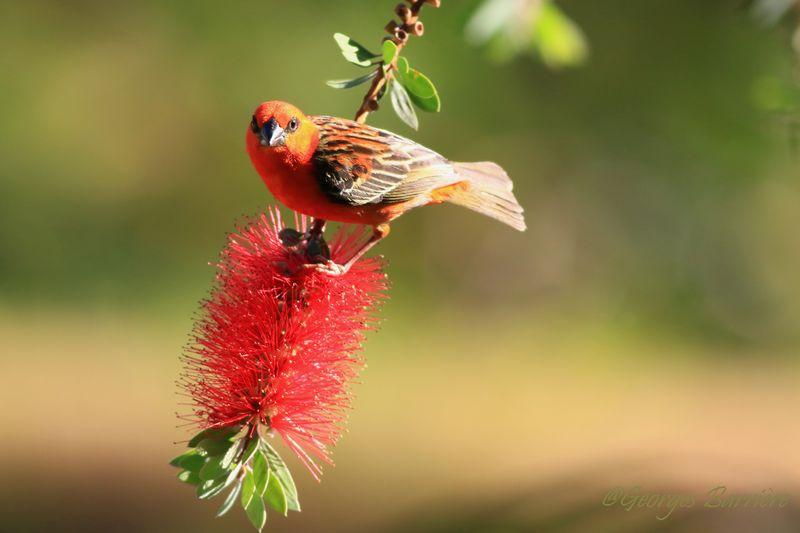 """Cardinal mâle sur la fleur du """"rince bouteille"""""""