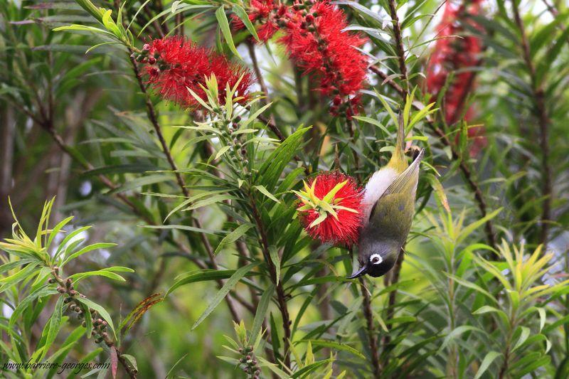 Oiseau vert à lunette dégustatant  la fleur du callistemon