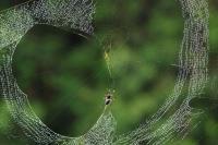 Néphila nigra tissant sa toile