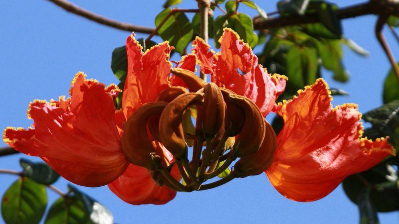 Tulipier du japon - Confiture de nefles du japon ...