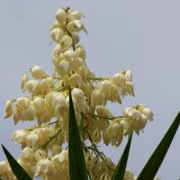 YUCCA PIED D'ELEPHANT