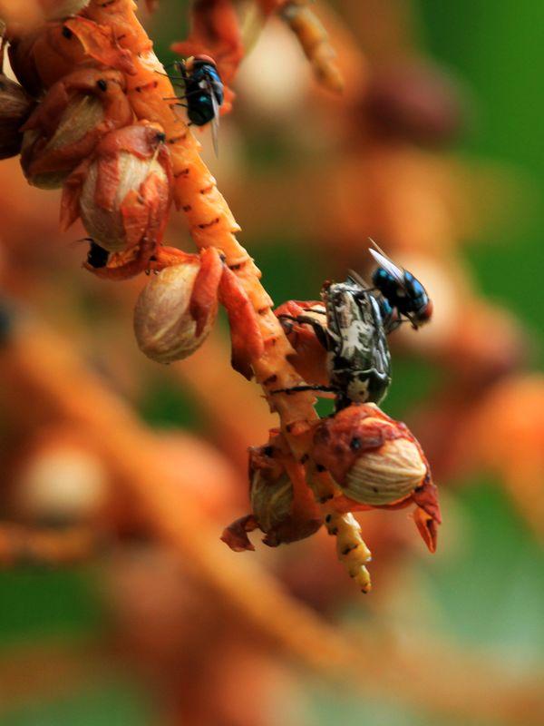 BEBETE L'ARGENT Protaetia aurichalcea