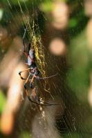 BIBE Nephila nigra