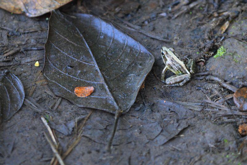 Grenouille - Ptychadena mascareniensis
