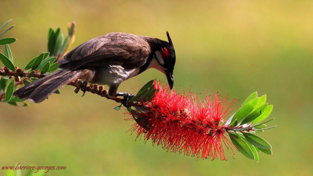 Bulbul se nourrissant de la fleur du Callistemon ou  rince bouteille