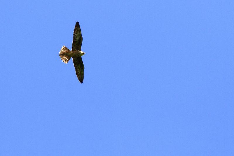 Faucon d'Éléonore (Falco eleonorae)