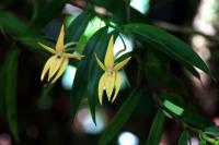 ORCHIDEE EPIPHITE